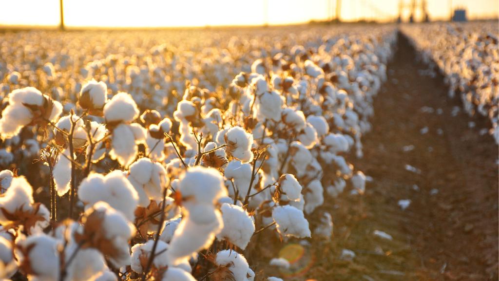 cotton plantage