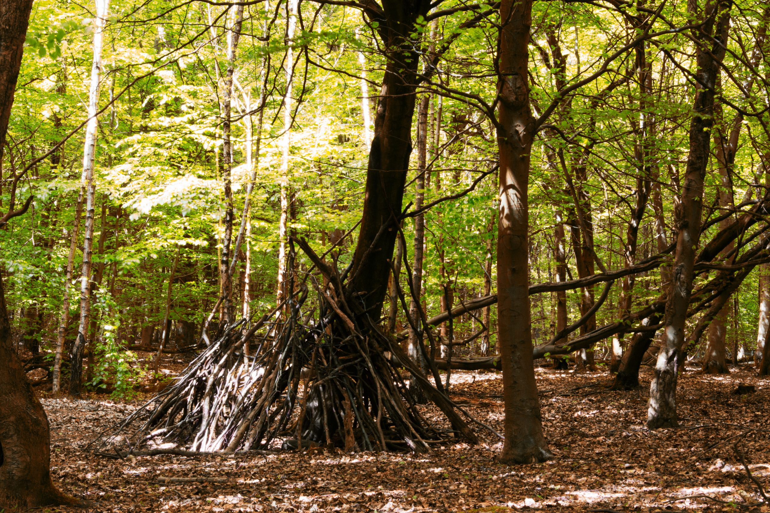 Building a lean-to shelter out of branches in the woods