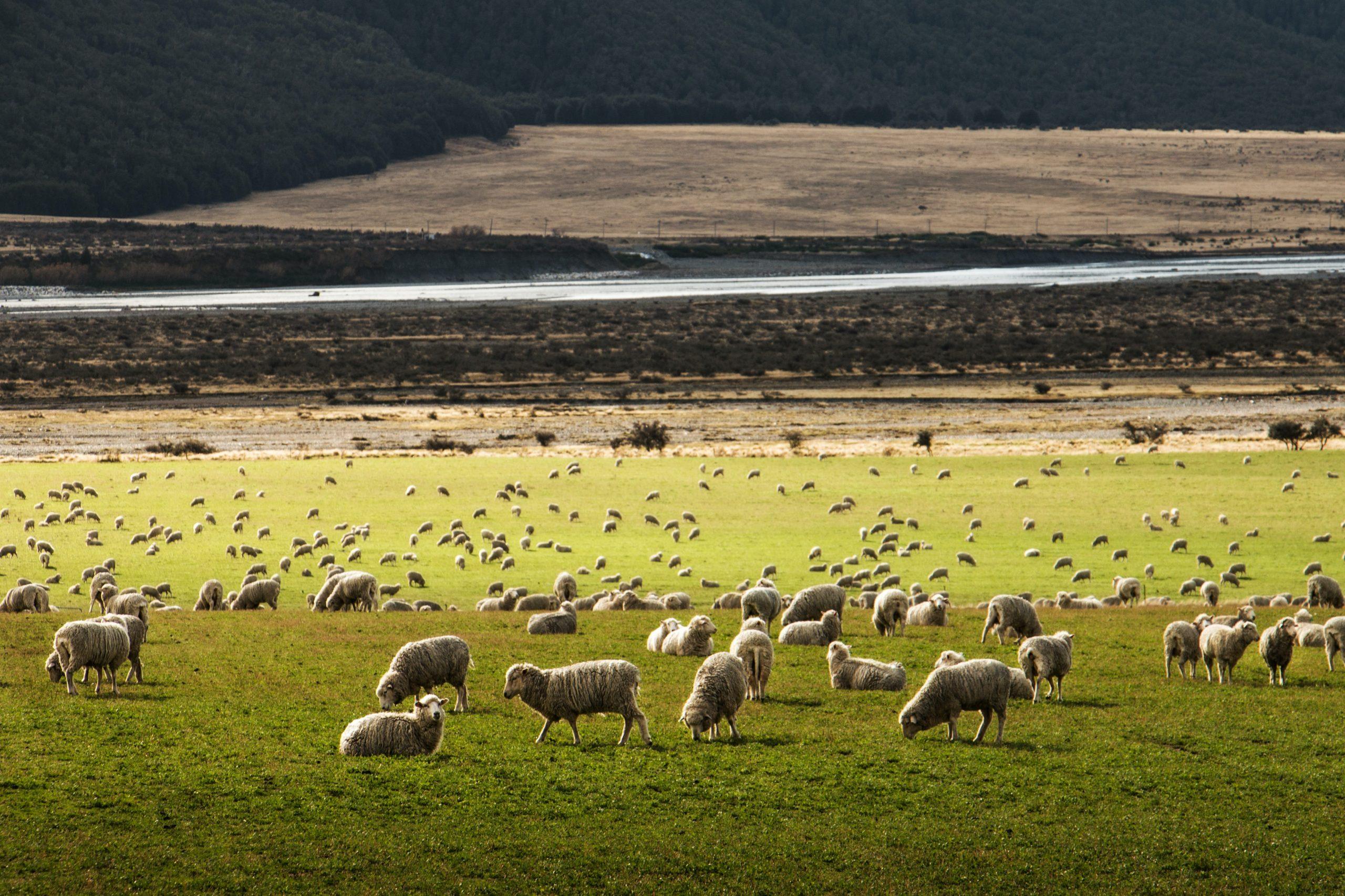 herd of sheep on grass field