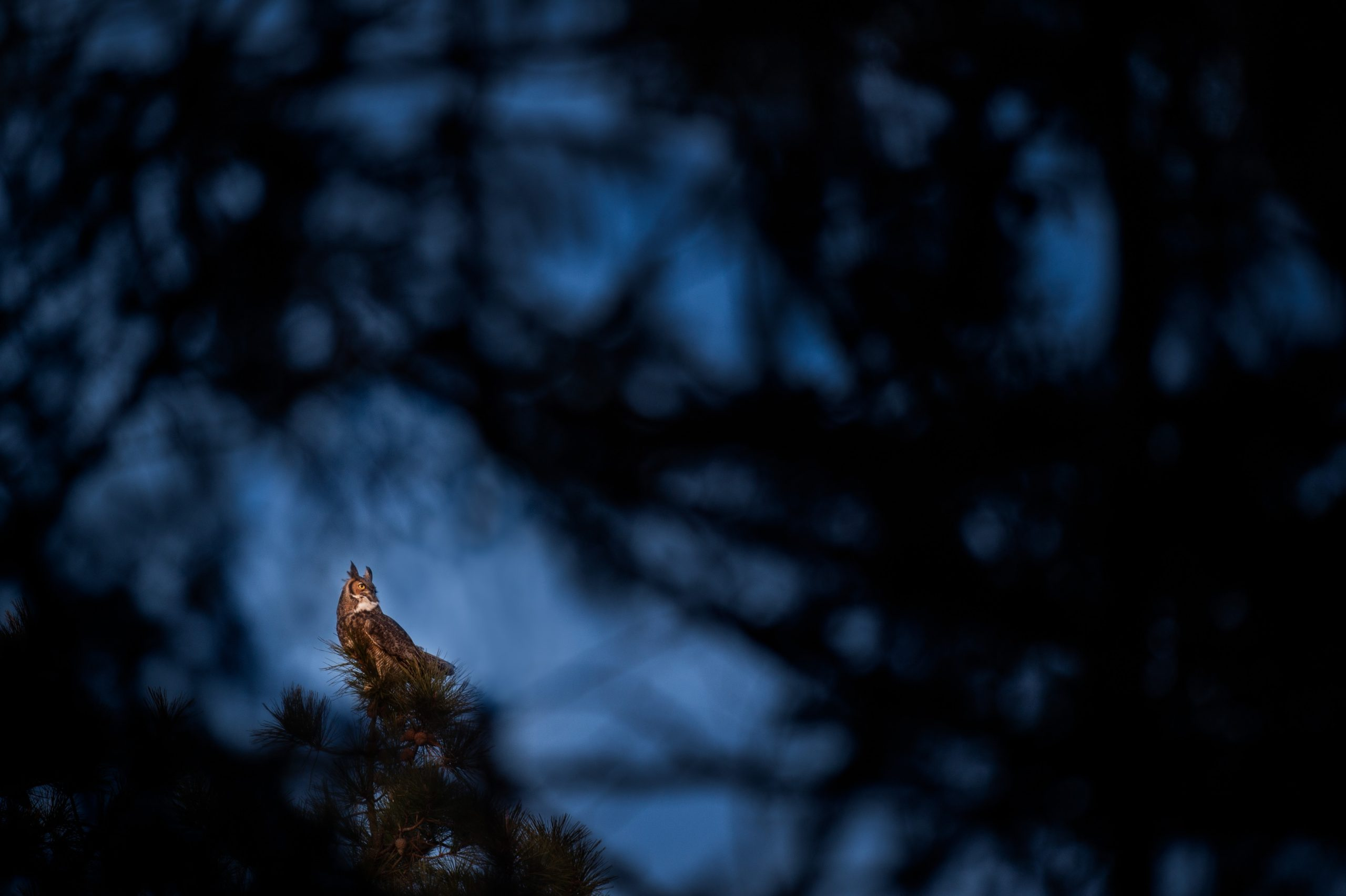 A Great Horned Owl perched on top of a Pine Tree at dusk.